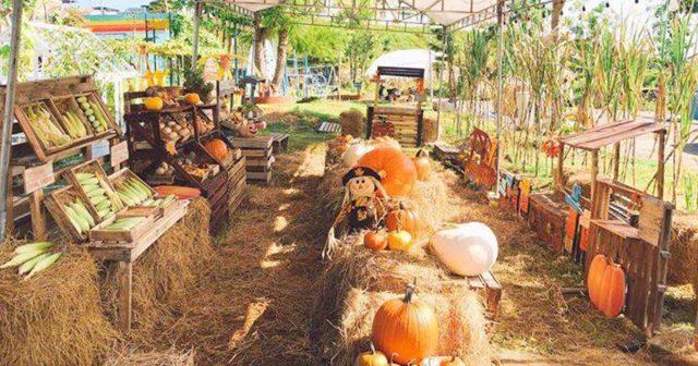 Hoang Phu Fall Pumpkin Patch Nha Trang